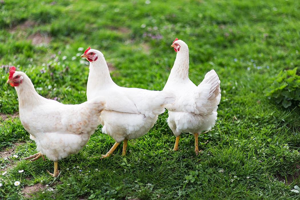 Free Run Ontario White Rock Chickens